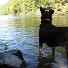 09/10 - You know the water is cold when Kenda will only wade. Calderwood Lake just below Cheoah Dam.