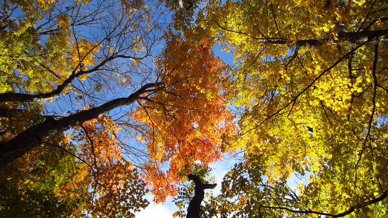 The maples are still going strong at low elevations. 11/05/12 on the Lakeshore Trail between Coytee and Glendale.