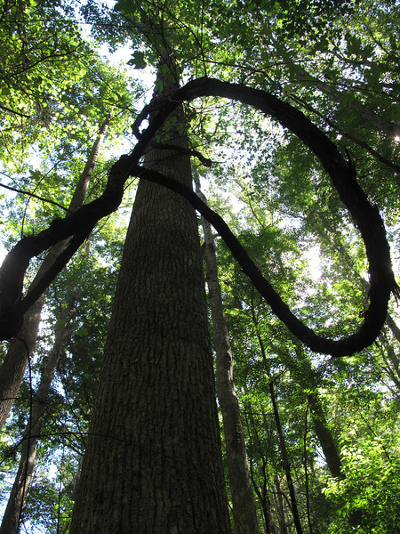 09/10 - A vine embraces an old-growth tree on Ike Branch Trail (Benton MacKaye)