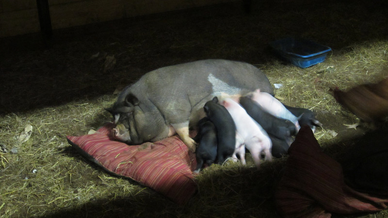 Petunia and her babies at Friendly Farm.