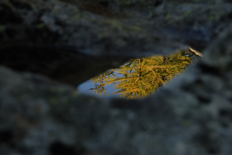 Larch tree reflection