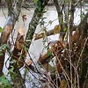 The beavers are hard at work on Pistol Creek. 01/12/15