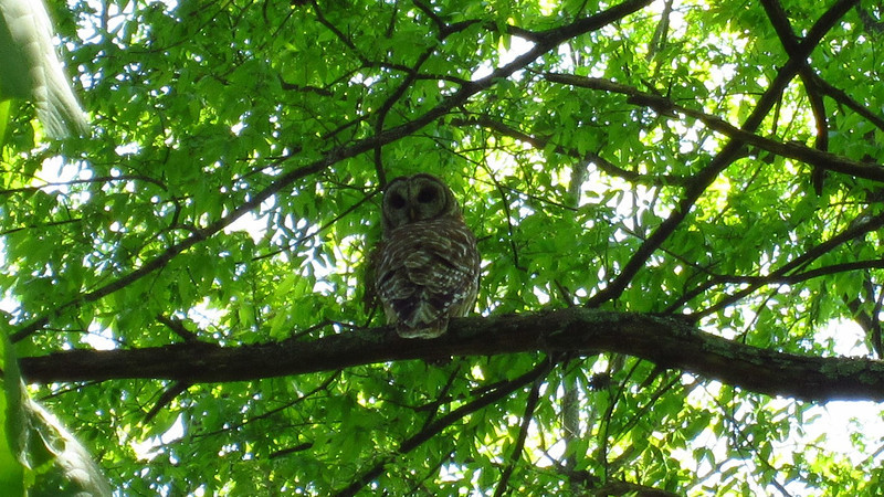 East Lakeshore Trail, Sinking Creek Branch, a barred owl tracked me and Kenda for about a half mile. He crossed the trail three times right in front of us; not sure if he was hunting Kenda or the small game Kenda might flush out.