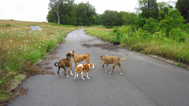 Here's everybody: L-R we've got Cletus, Jenny, Lily, Ellen and Kenda. Dog Toy Proving Grounds, 06/11/12