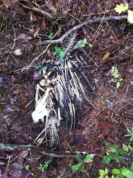 The remains of a turkey in the woods. I took this picture because of a conversation at Metafilter (and it's linked there). Just pretend you didn't see it.