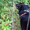 My dog likes picking blackberries. She noses around until she finds a ripe one and eats it. 06/11/12