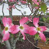 Mike & Paige's pink dogwood. Paige asked me to take pictures of it while it was in bloom; they're in Austin for MotoGP. 04/20