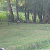Mama turkey and chicks, near Glendale Community Center, Friendsville.