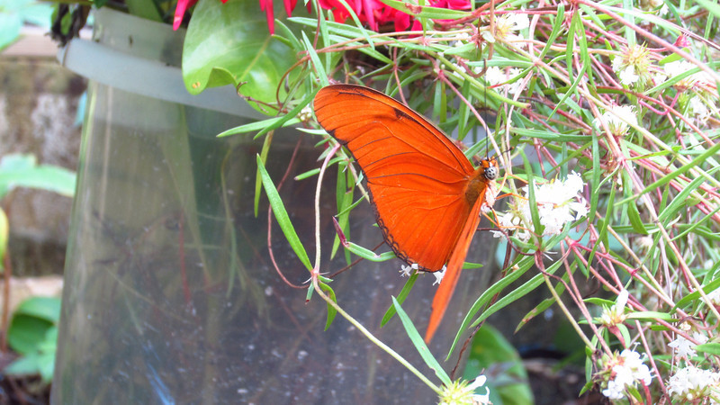 Cruise 2012: the butterfly house, Bacab, Belize