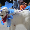 Ordinarily, it's not easy to rob a Great Pyrenees of its dignity... Mardi Growl 2012