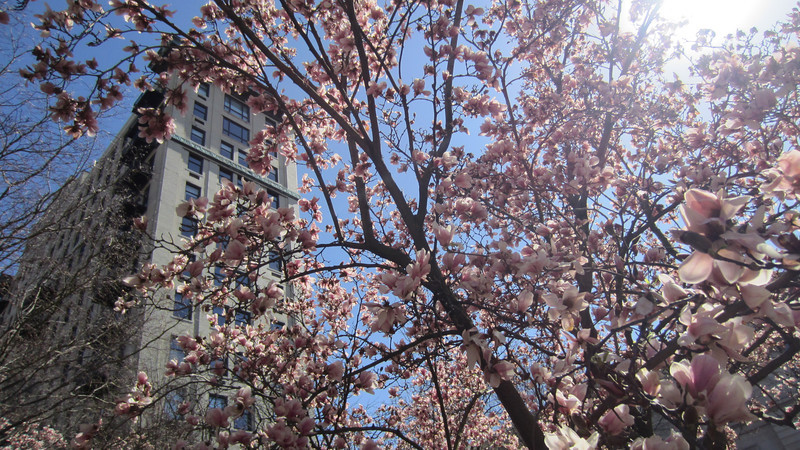 Magnolias blooming on Market Square at the end of the Mardi Growl parade. 03/03/12