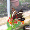 Cruise 2012: Bacab Preserve features a butterfly house with a charming and knowledgeable docent.