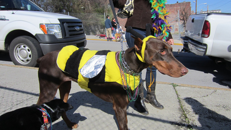 Kenda checks out one of several bee dogs at Mardi Growl, 03/03/12