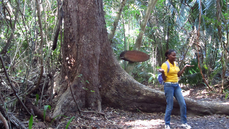 Cruise 2012: our guide stands in front of a mahogany tree