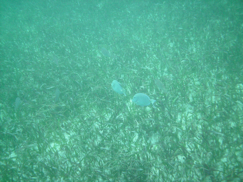 Cruise 2012: leetle blue fishies in Half Moon Bay, Roatan