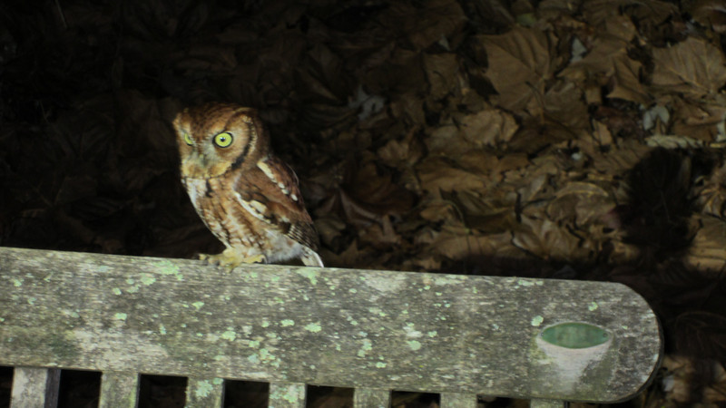 Eastern Screech Owl in the back yard, 12/26/11