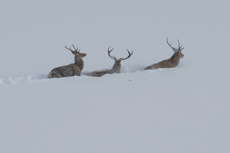 Deer fighting deep snow