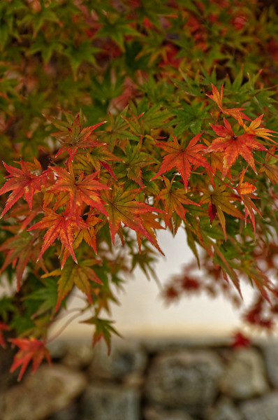 More lovely maple leaves in the process of changing color