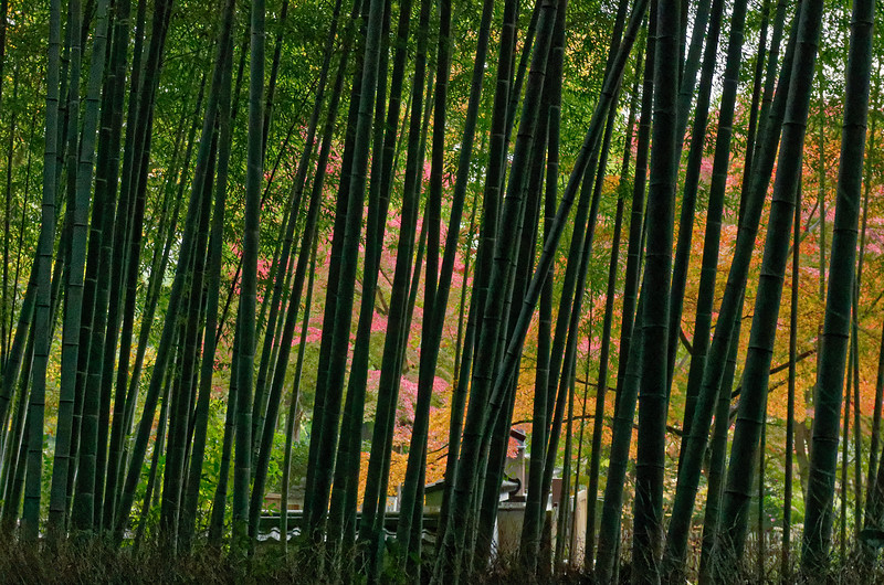 A view through the bamboo before leaving the grove