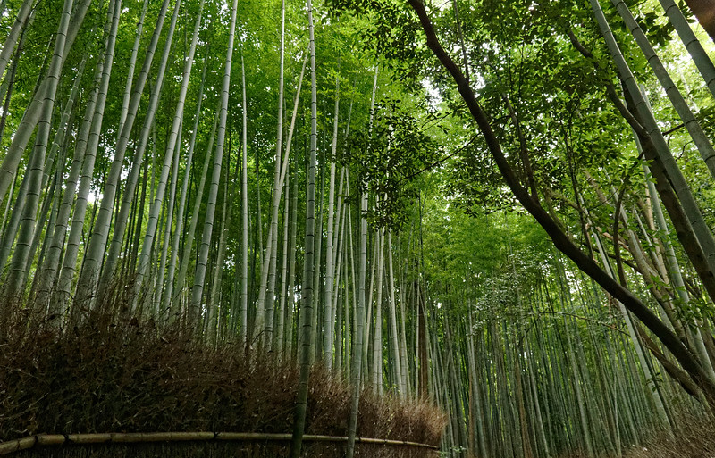 Walking paths wend their way through the bamboo grove, leaving a visitor engulfed in the subdued green beauty of these enormous, slender reeds.