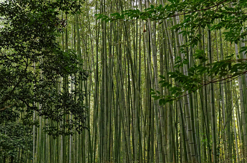 Giant bamboos dwarf visitors to the Arashiyama grove.