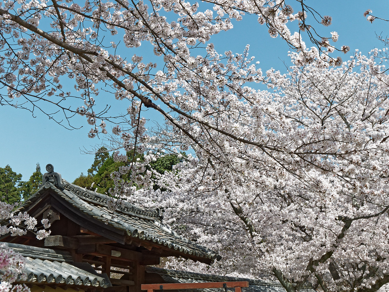 The temple's many cherry blossom trees put on a spectacular display in the spring.