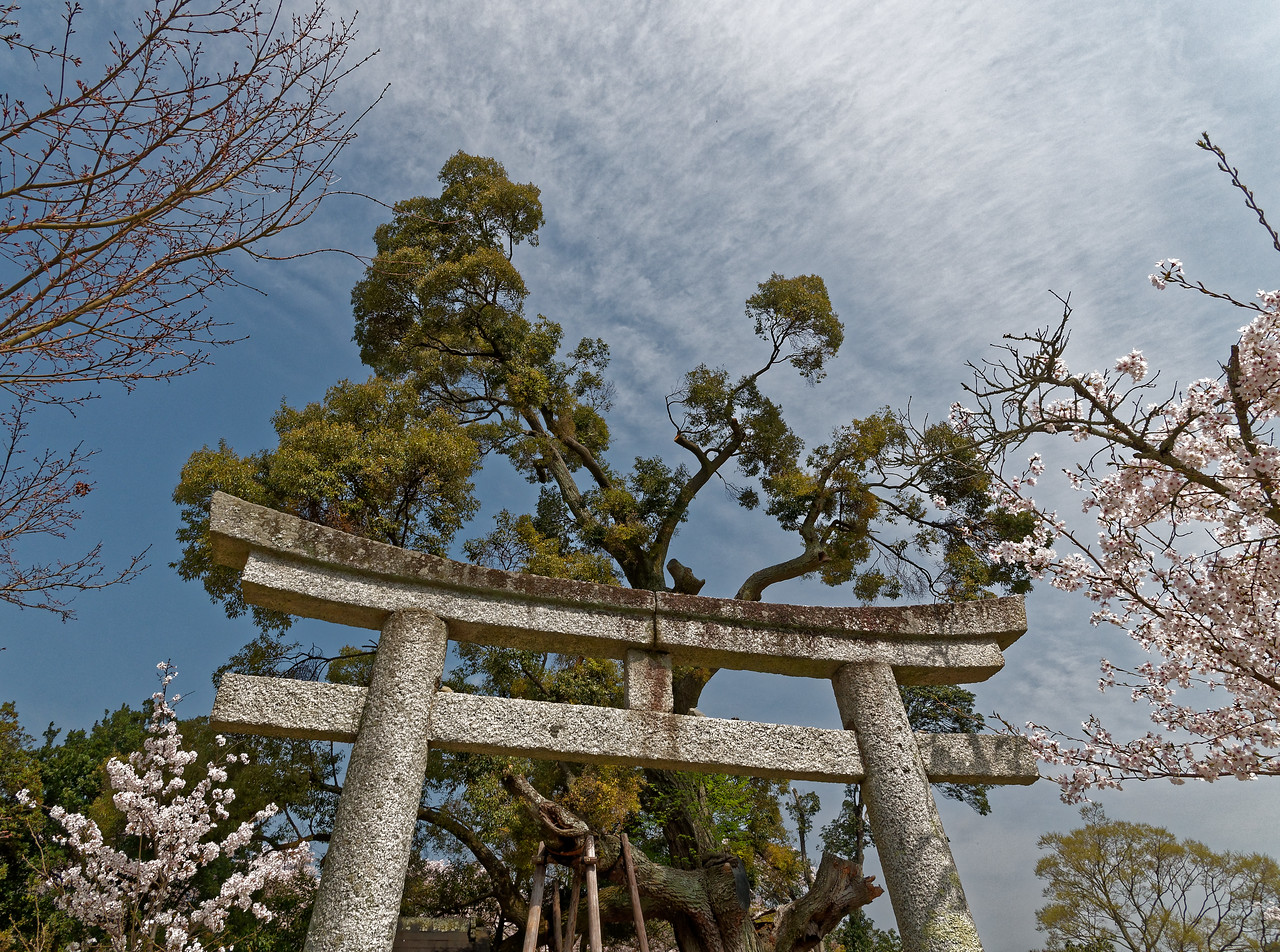 The torii of a small Shinto shrine within the temple grounds provides formal access to the sacred tree seen in back.