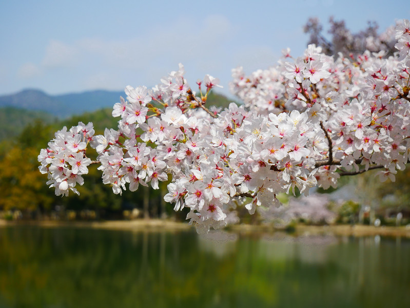 A prime reason for our visiting Daikaku-ji was, of course, to view its splendid gardens and countless cherry trees in full flower.