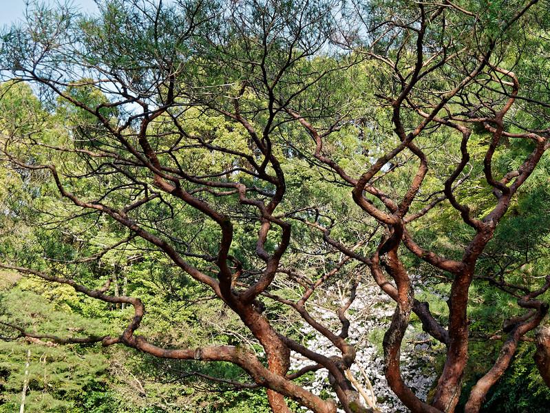 Dancing conifers