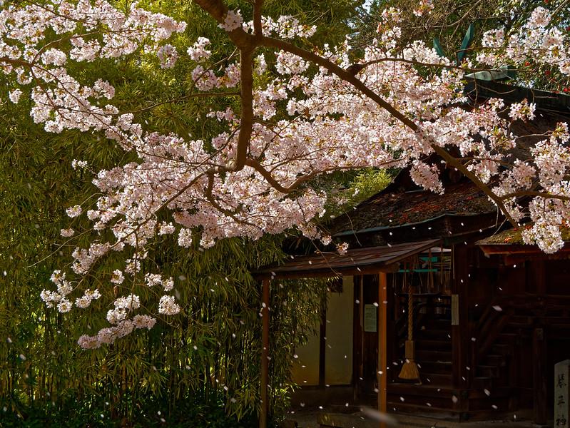 A spring snowstorm of cherry-blossom petals