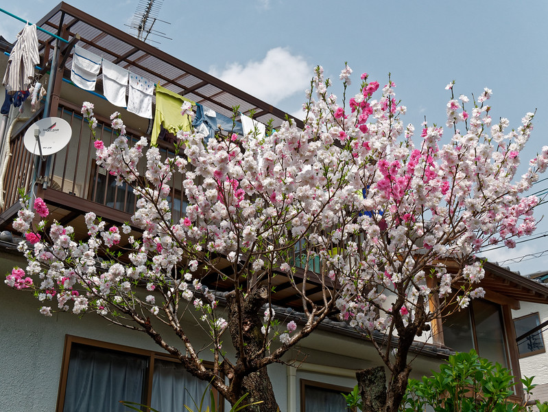 Blossoms on a side street just off the Philosopher's Path in Higashiyama district