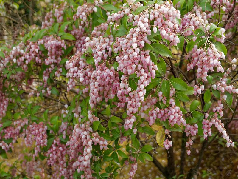 Pink Japanese pieris, <i>Pieris japonica</i>