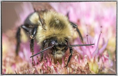 Busy Bee on Sedum