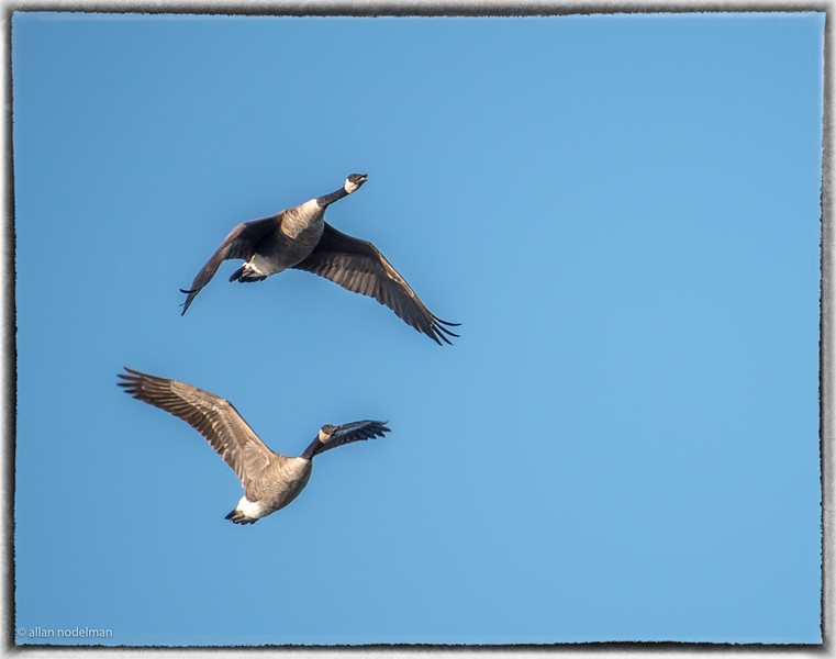 Canada Geese Heading South