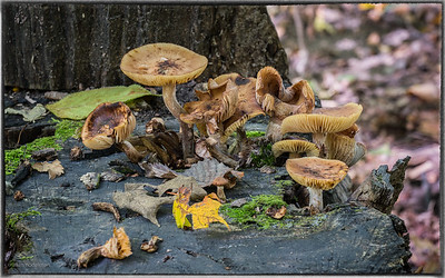 Mushrooms Growing From a Stump