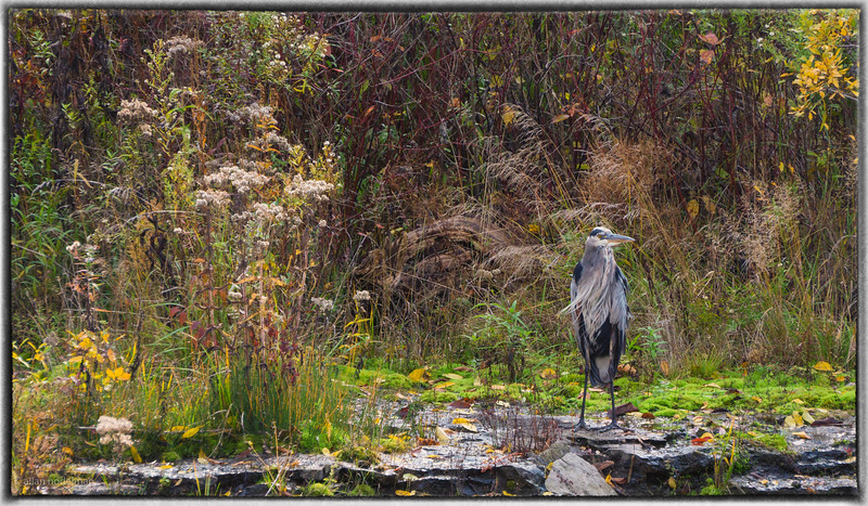 Heron on Rideau River in Merrickville