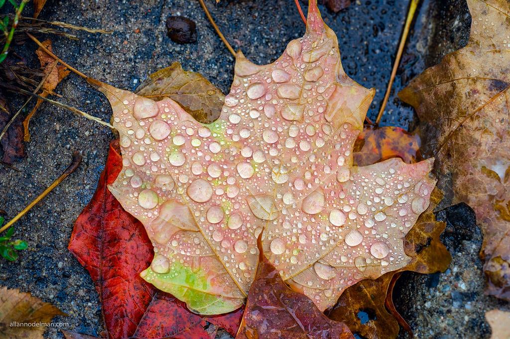 Fall Leaf on Kinmount