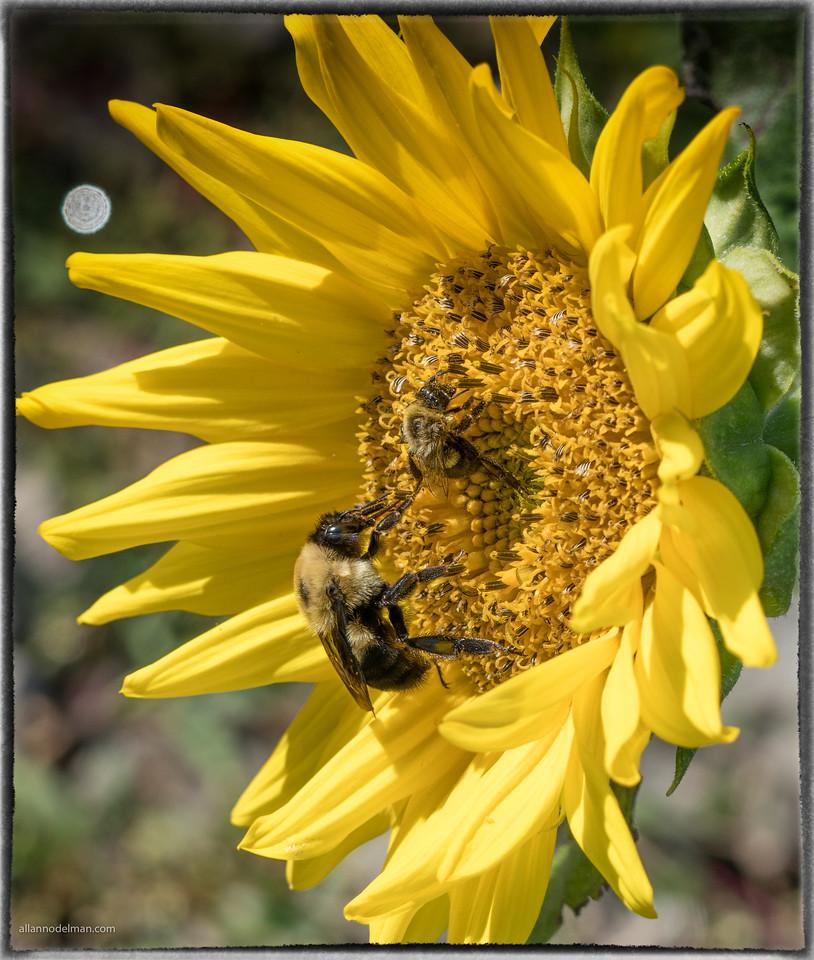 Bee and Mini Bee