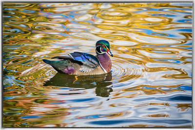 Wood Duck at Mud Lake Ottawa