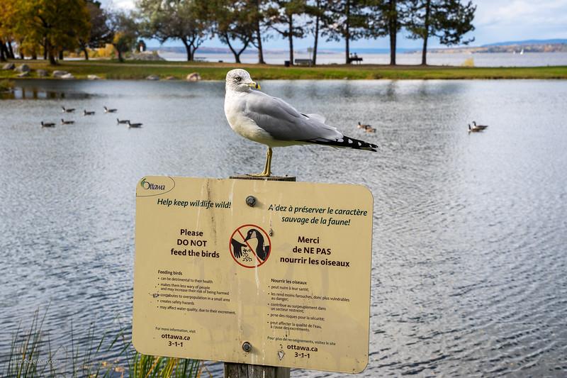 Hungry Bird in Andrew Hayden Park Ottawa