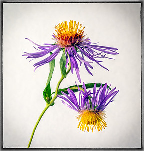 Wild Asters Focus Stacked