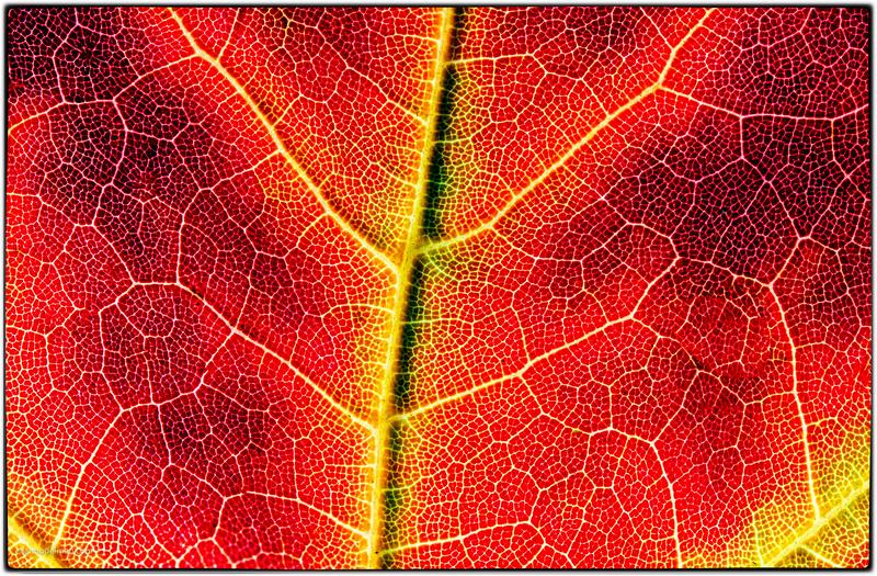 Macro of Maple Leaf