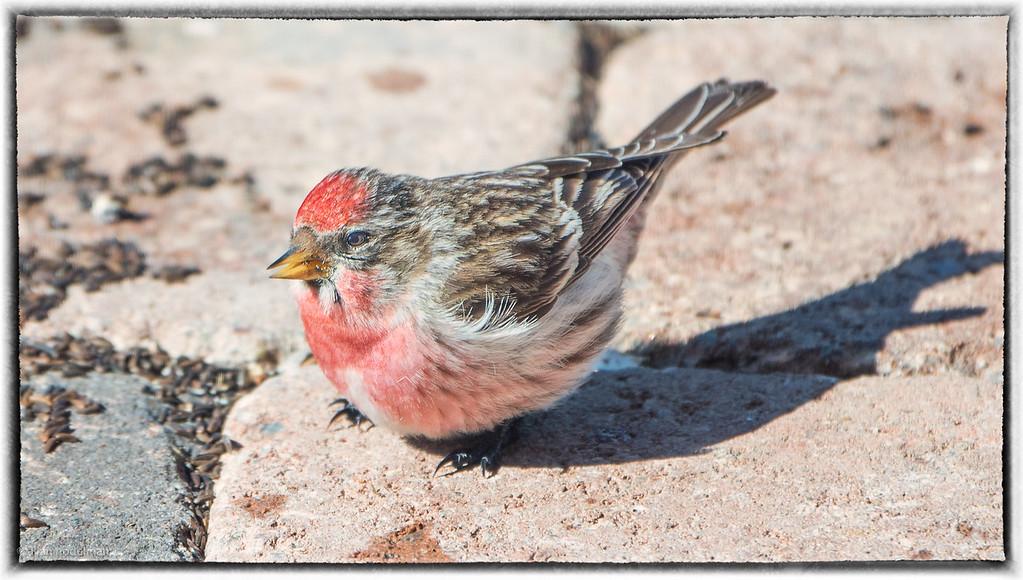 Common Redpoll Under the Feeder