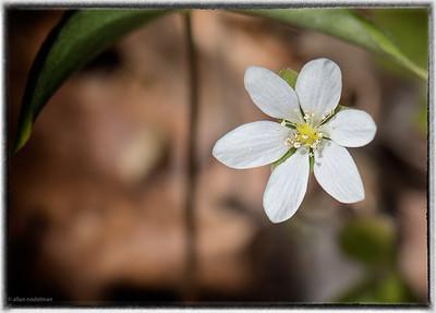 Spring Wildflower at Morris Island