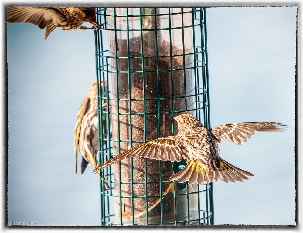 Pine Siskin in Flight at the Feeder