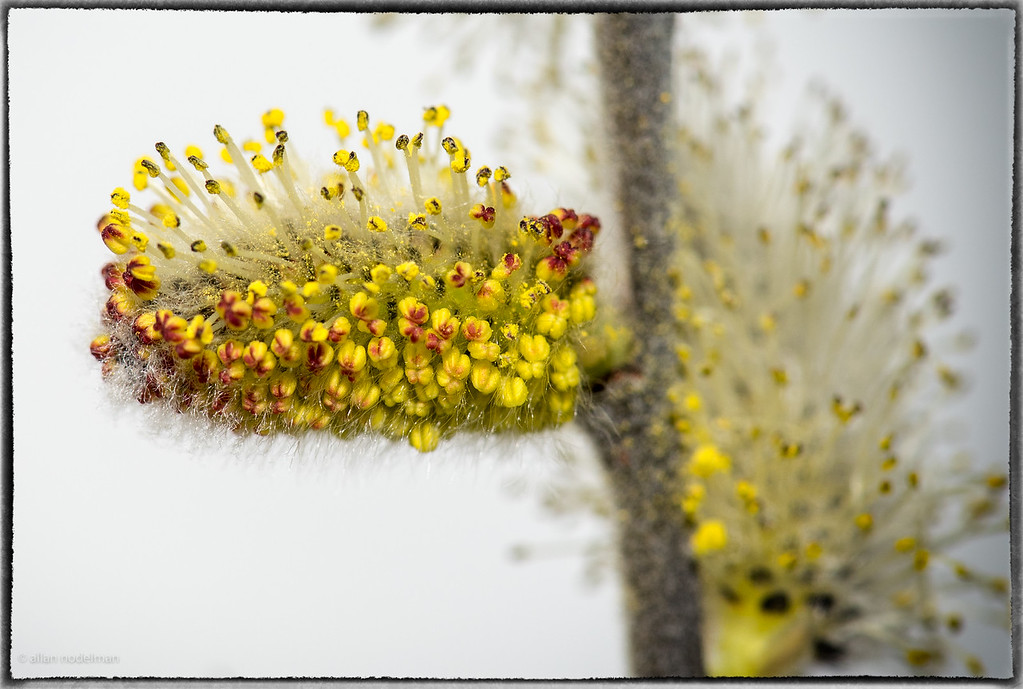 Close Up of Willow Blossom