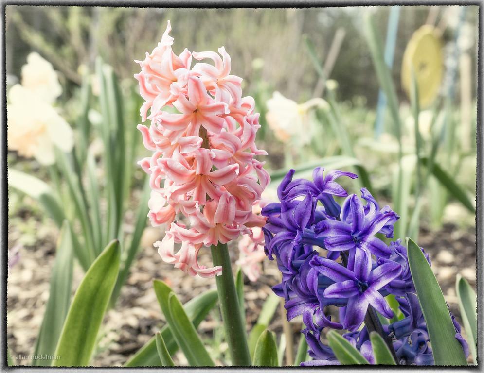 From Jeff Sugarman's Spring Garden
