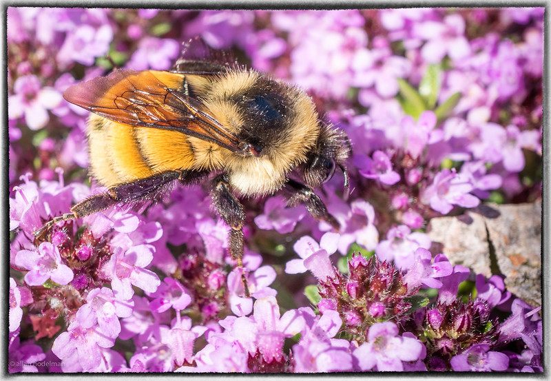Bee on Creeping Thyme
