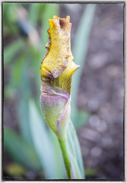 Another Iris Bud
