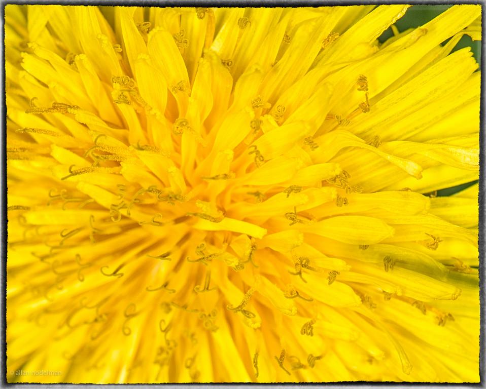 Dandelion Up Close